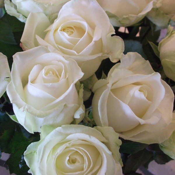 Weisse Rosen Bild 1
