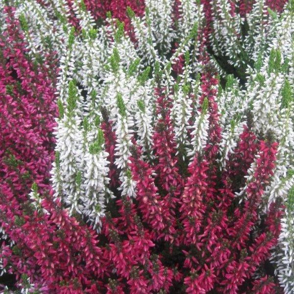 Sommerheide rot oder weiß (Calluna vulgaris) Bild 1