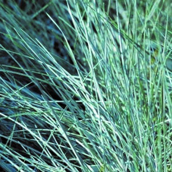 Blauschwingel (Festuca cinerea) Bild 1