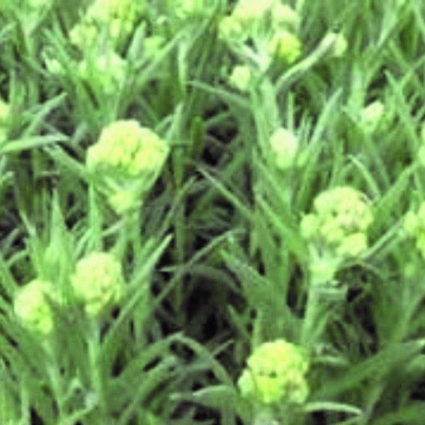 Helichrysum thianschanicum Bild 1
