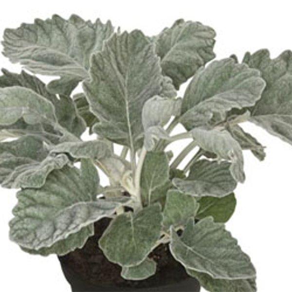 Silberblatt (Senecio bicolor) Bild 1