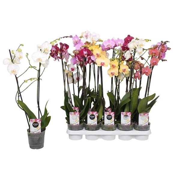 ANGEBOT Orchidee  `Phalaenopsis` Bild 1