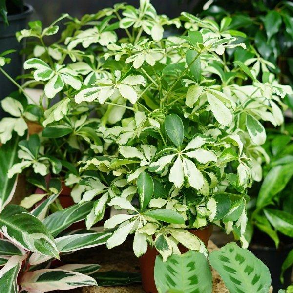 """Schefflera arboricola """"Charlotte"""" Bild 1"""