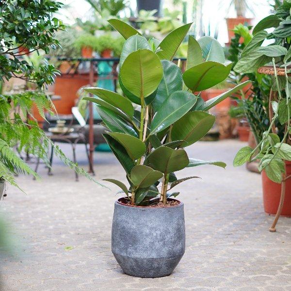 Ficus elastica Bild 3
