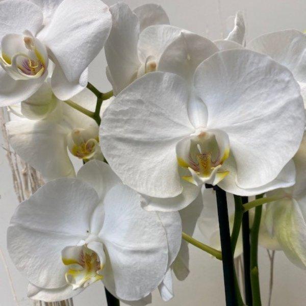 Orchidee Bild 2