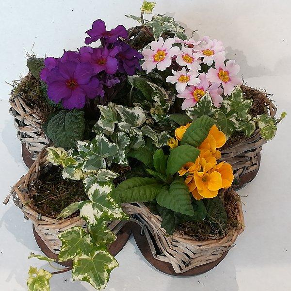 K 2  gepflanzte Korbblume Bild 1