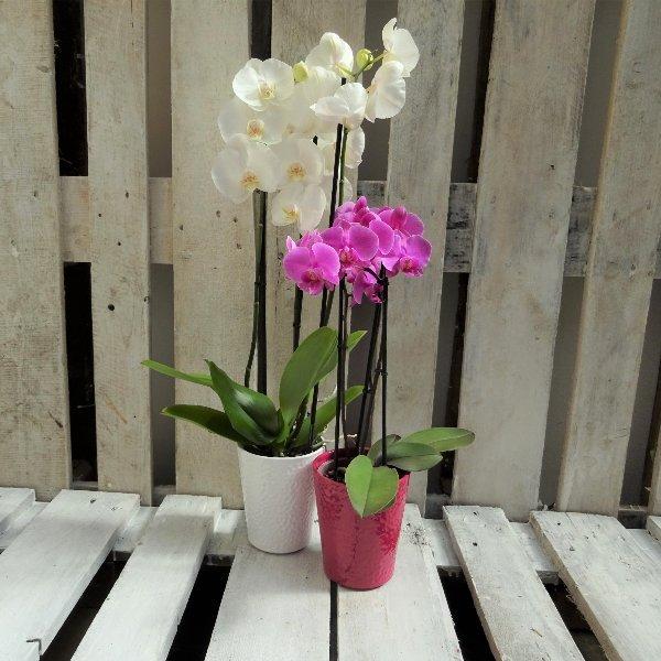 Topfpflanze blühend Bild 1