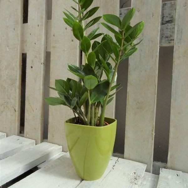 Topfpflanze grün Bild 1