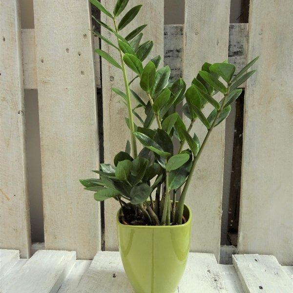 Topfpflanze grün Bild 2