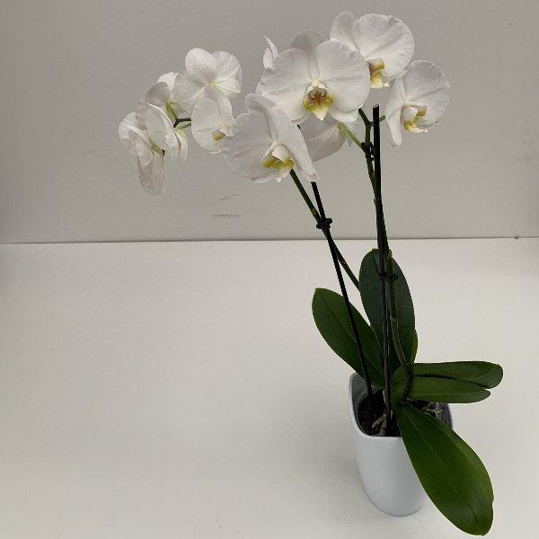 Orchidee 2 Blütentriebe Bild 2