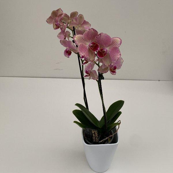 Orchidee 2 Blütentriebe Bild 3