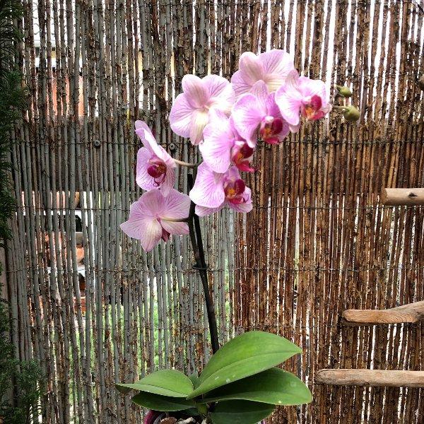Orchidee mit Übertopf Bild 1