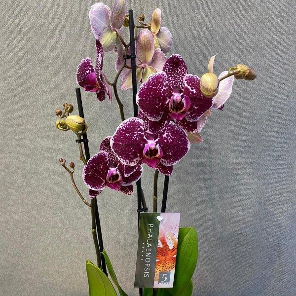 Orchideenpflanze Bild 1