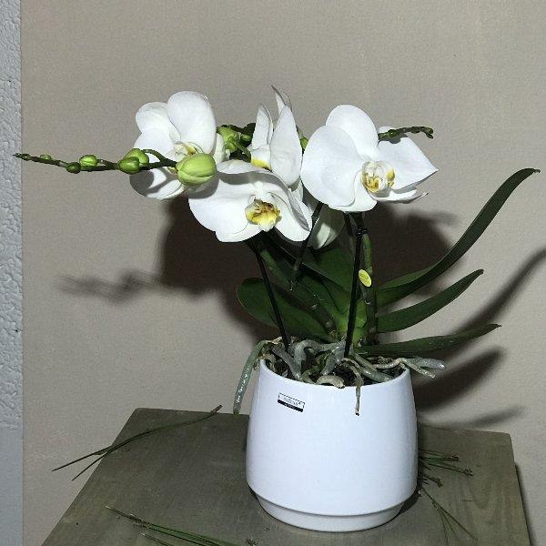 Orchidee mit Topf Bild 1