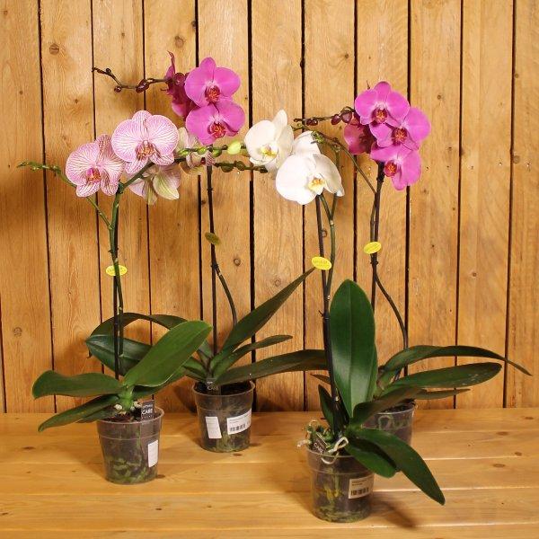 Orchidee 1 Trieber Bild 1