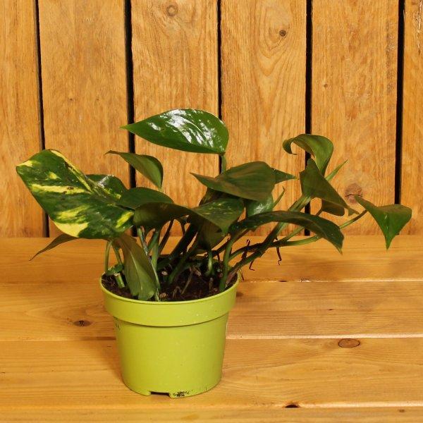Epipremum pinnatum Bild 1