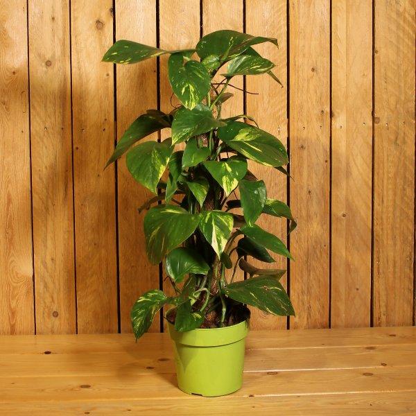 Epipremum pinnatum Bild 2