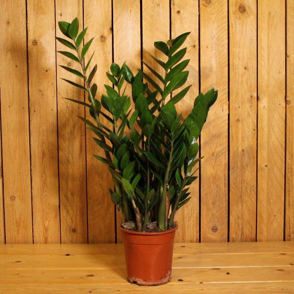 Zamioculca zamiifolia Bild 1