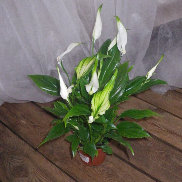 Spathiphyllum in unterschiedlichen Größen Bild 2