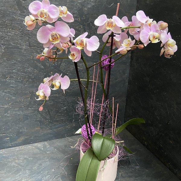 Orchidee pastellfarben mit passendem Übertopf Bild 1