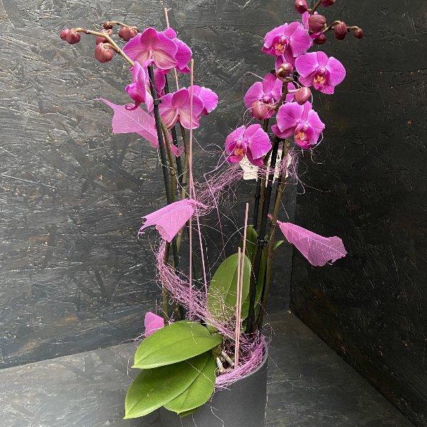 Orchidee in Lila mit passendem Übertopf Bild 1