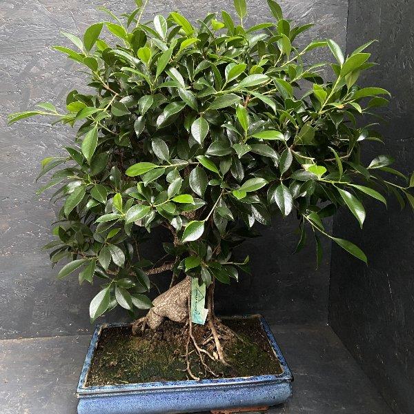 Bonsai groß Bild 1