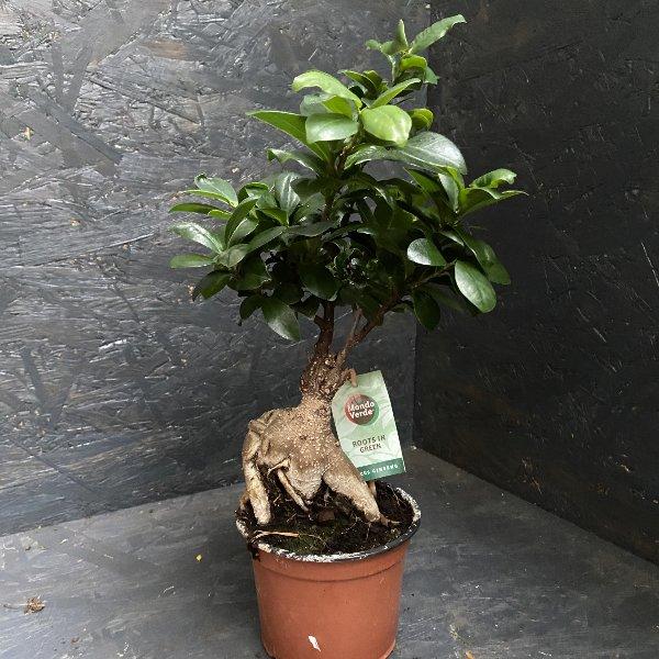 Ficus Ginseng Bild 1