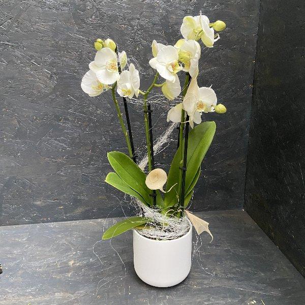 Orchidee in weiß mit Übertopf Bild 1
