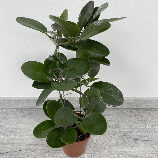 Wachsblume (Hoya) Bild 1