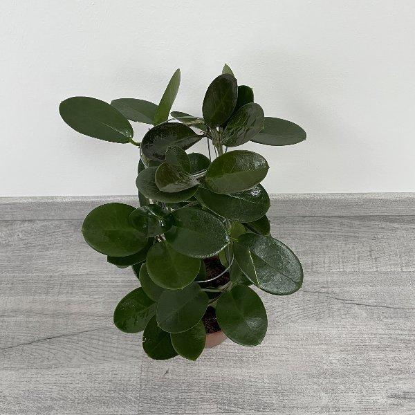 Wachsblume (Hoya) Bild 2