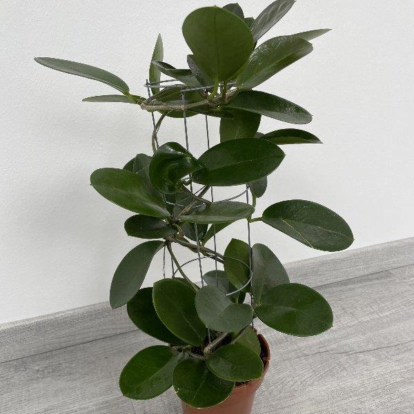Wachsblume (Hoya) Bild 3
