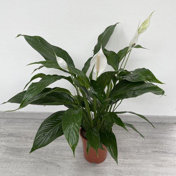 Einblatt (Spathiphyllum) Bild 1