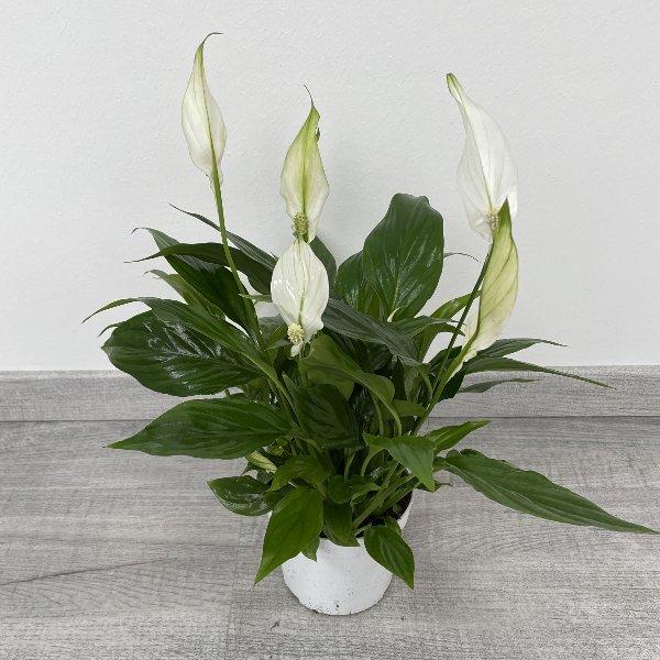 Einblatt (Spathiphyllum) Bild 2