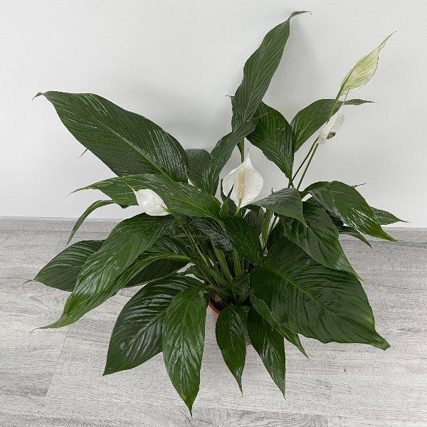 Einblatt (Spathiphyllum) Bild 3