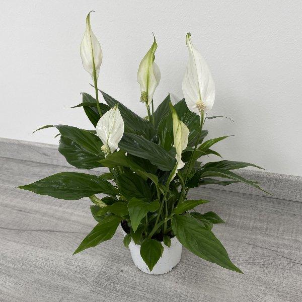 Einblatt (Spathiphyllum) Bild 4