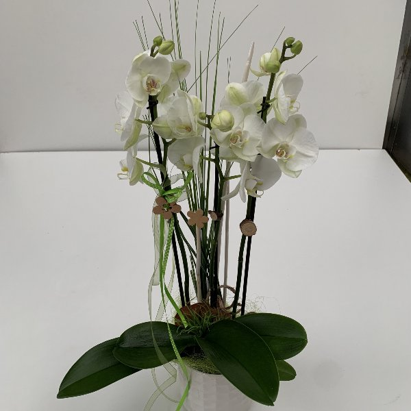 Orchidee,mehrtriebig, ausgeschmückt, im Keramiktopf Bild 2