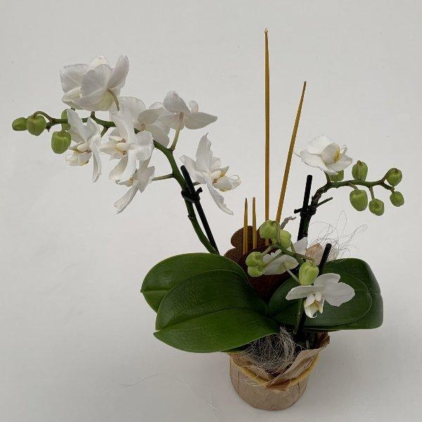 Orchidee, ausgeschmückt, im Manschettentopf Bild 1