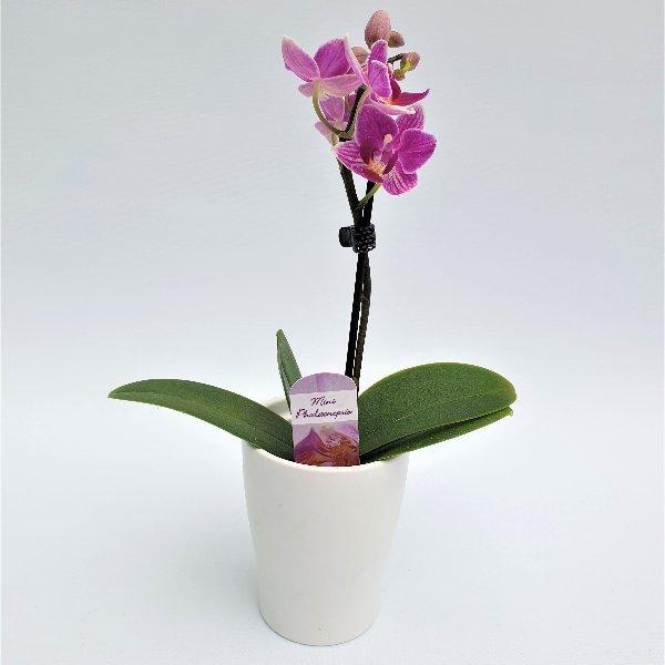 Mini Phalaenopsis pink, 1- Trieber Bild 1