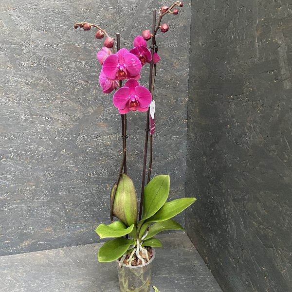 Orchidee in lila Bild 1