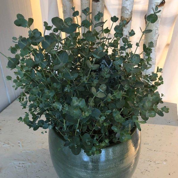 Eukalyptus Bild 1