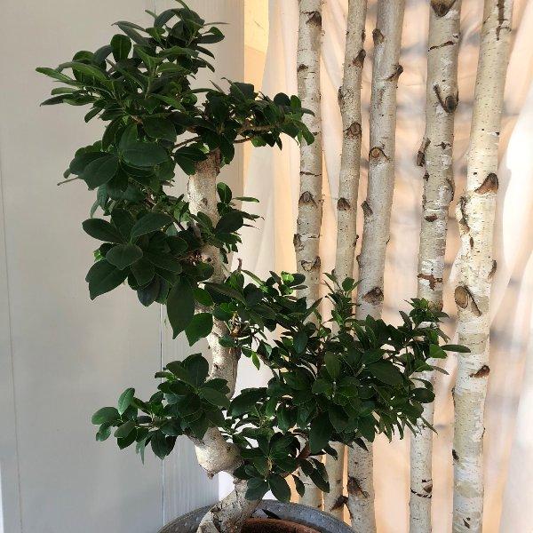 Ficus Gingseng Bild 1