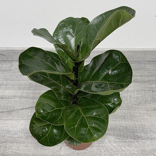 Geigenfeige (Ficus lyrata) Bild 3