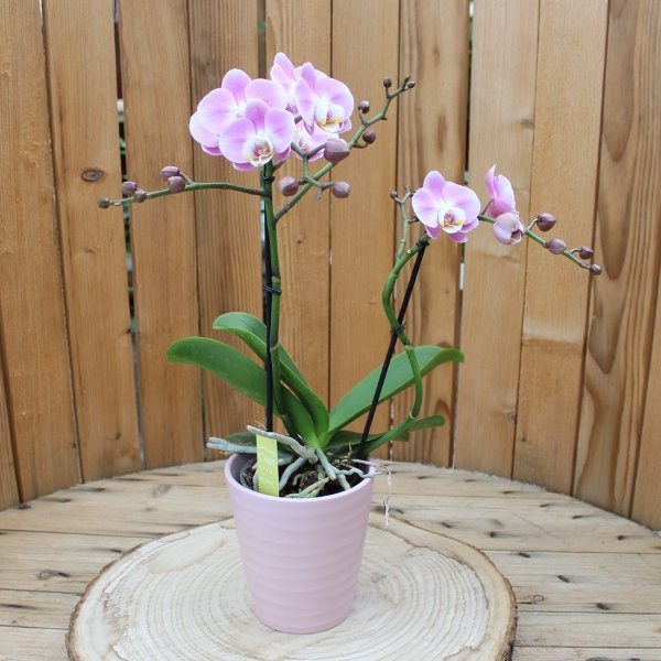 Phalaenopsis mit Übertopf Bild 1