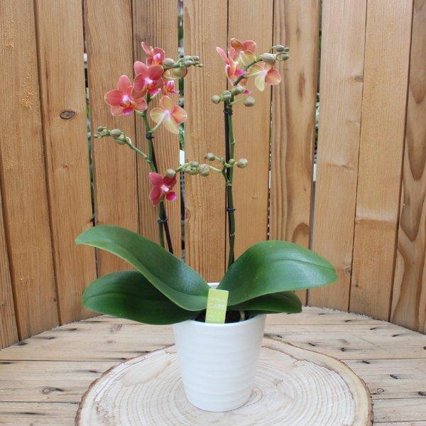 Phalaenopsis mit  cremefarbenen Übertopf Bild 1