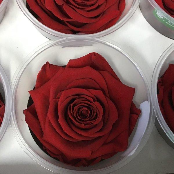Stabilisierte Rose Bild 1