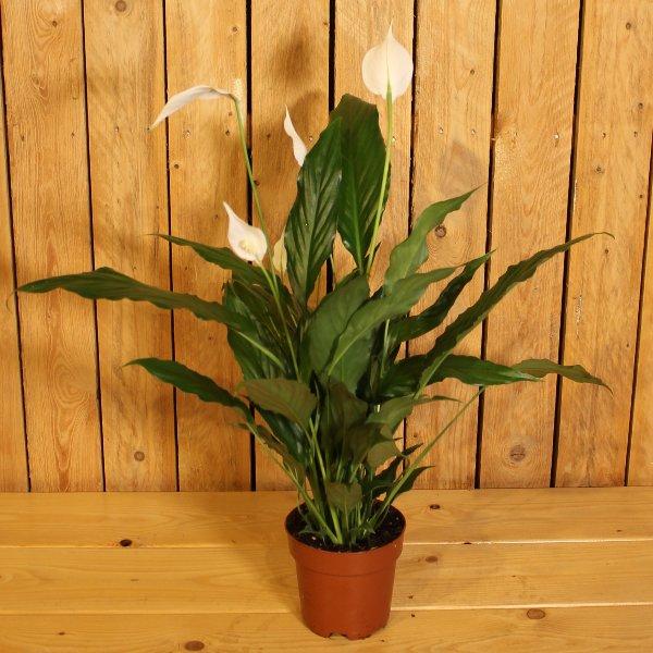 Spathiphyllum Bild 1