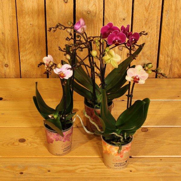 Phalaenopsis Kleinblütig (medi) Bild 1