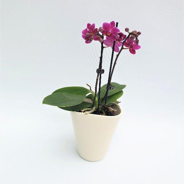 Midi Phalaenopsis lila, 2- Trieber Bild 1