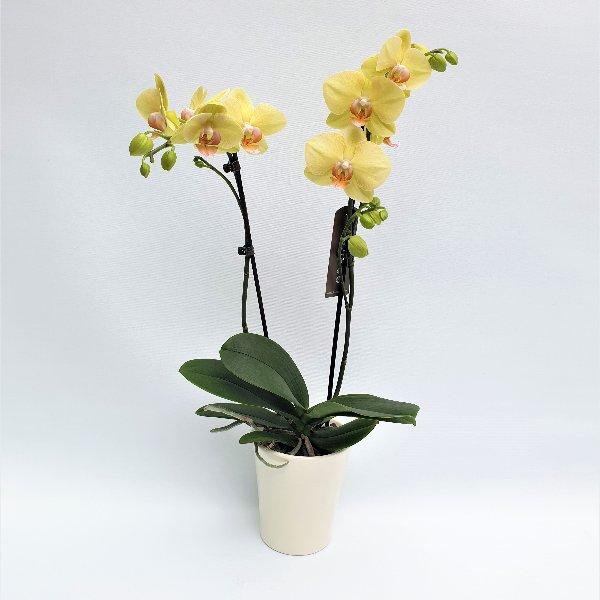 Standard Phalaenopsis gelb, 2- Trieber Bild 1