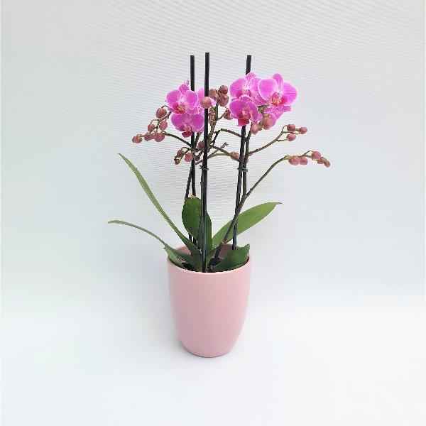 Standard Phalaenopsis Pink, 2- Trieber Bild 1